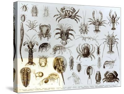 Crustacea and Arachnida--Stretched Canvas Print