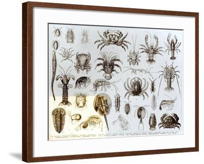 Crustacea and Arachnida--Framed Giclee Print