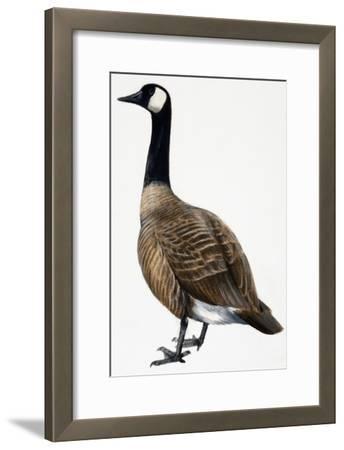 Brent Goose--Framed Giclee Print