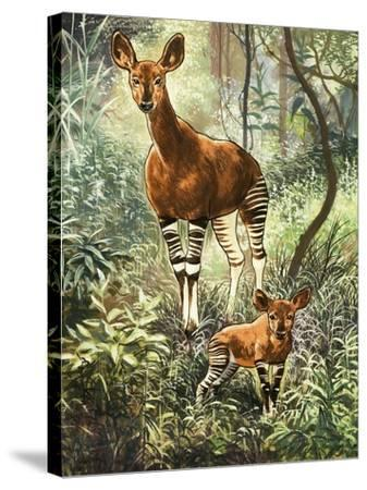 Okapis of the Congo--Stretched Canvas Print