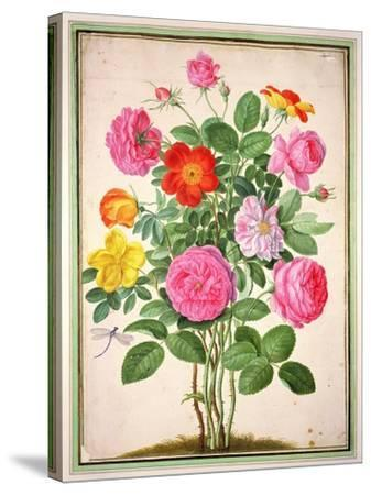 Roses, Plate 4 from the Nassau Florilegium-Johann Jakob Walther-Stretched Canvas Print