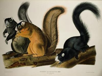 Fox Squirrel, from Quadrupeds of America, 1845-John James Audubon-Framed Giclee Print