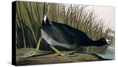 American Coot, from Birds of America, 1835-John James Audubon-Stretched Canvas Print
