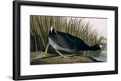 American Coot, from Birds of America, 1835-John James Audubon-Framed Giclee Print