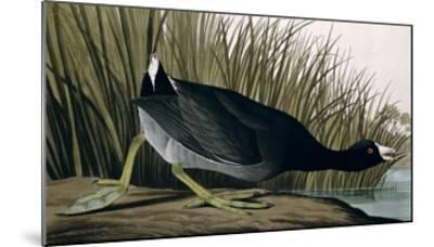 American Coot, from Birds of America, 1835-John James Audubon-Mounted Giclee Print