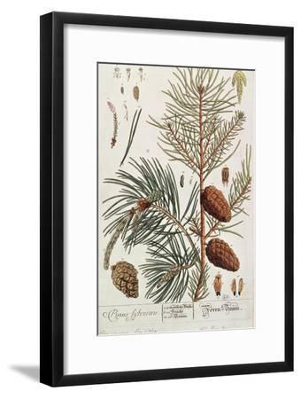 Pine Tree, from A Curious Herbal, Published in Nuremburg in 1757-Elizabeth Blackwell-Framed Giclee Print