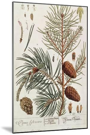 Pine Tree, from A Curious Herbal, Published in Nuremburg in 1757-Elizabeth Blackwell-Mounted Giclee Print