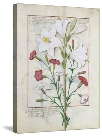 Illustration from the Book of Simple Medicines by Mattheaus Platearius-Robinet Testard-Stretched Canvas Print