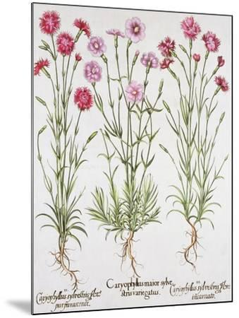 Various Varieties of Dianthus, from the Hortus Eystettensis by Basil Besler--Mounted Giclee Print