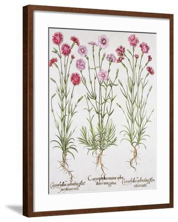 Various Varieties of Dianthus, from the Hortus Eystettensis by Basil Besler--Framed Giclee Print