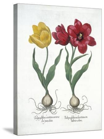Red and Yellow Tulip, from Hortus Eystettensis--Stretched Canvas Print