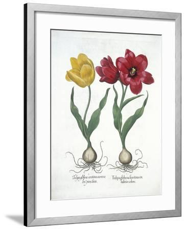 Red and Yellow Tulip, from Hortus Eystettensis--Framed Giclee Print