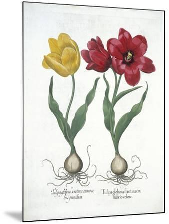 Red and Yellow Tulip, from Hortus Eystettensis--Mounted Giclee Print