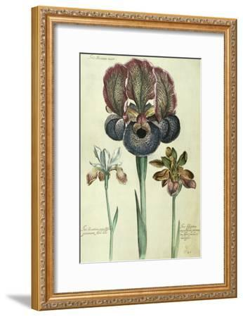 Iris Susiana Major and Iris Bisantina Angustifolia-Georg Dionysius Ehret-Framed Giclee Print