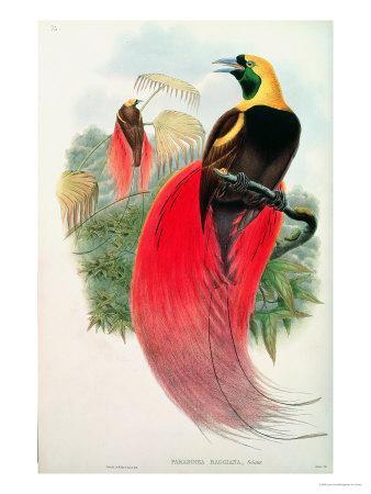 Bird of Paradise, Engraved by T. Walter-John Gould-Framed Giclee Print