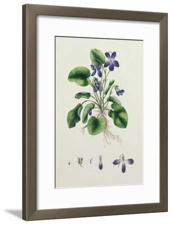Violets, Page from an Album of Botanical Studies c.1830--Framed Giclee Print