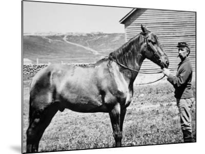 Comanche, Captain Keogh's Mount, the Only Survivor of Custer's Last Stand, 25th June 1876--Mounted Photographic Print
