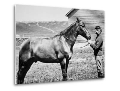 Comanche, Captain Keogh's Mount, the Only Survivor of Custer's Last Stand, 25th June 1876--Metal Print