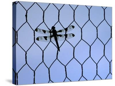 A Dragonfly Clings to the Wire of a Backstop During the Iowa High School Baseball Tournament--Stretched Canvas Print