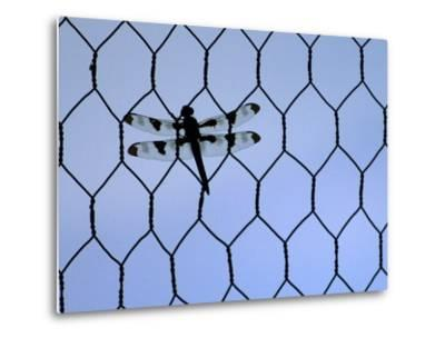 A Dragonfly Clings to the Wire of a Backstop During the Iowa High School Baseball Tournament--Metal Print