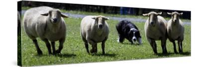 A Border Collie Demonstrates Sheep Herding--Stretched Canvas Print