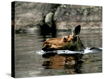 A Moose Cools Off--Stretched Canvas Print