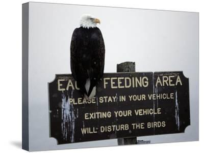 A Bald Eagle Sits on a Sign at the Eagle Feeding and Viewing Area--Stretched Canvas Print