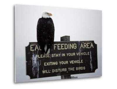 A Bald Eagle Sits on a Sign at the Eagle Feeding and Viewing Area--Metal Print