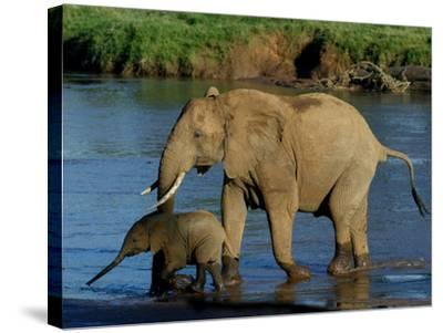 An Elephant and Her Calf Cross a River--Stretched Canvas Print