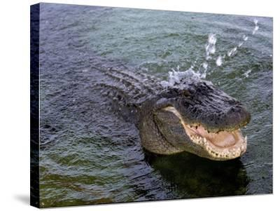 An Alligator Leaps from the Water in the Louisiana Bayou--Stretched Canvas Print