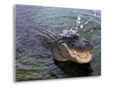 An Alligator Leaps from the Water in the Louisiana Bayou--Metal Print
