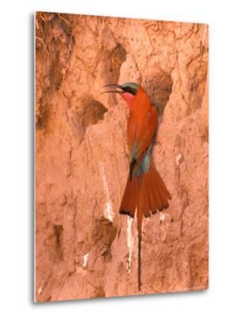 Carmine Bee-Eater, Okavango Delta, Botswana-Pete Oxford-Metal Print