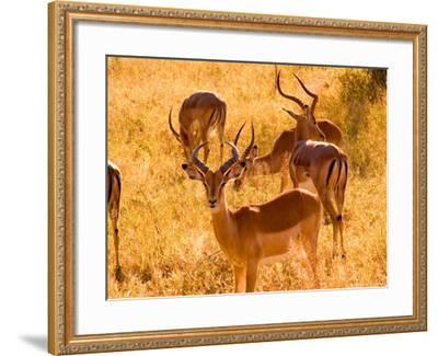 Close-up of Impala, Kruger National Park, South Africa-Bill Bachmann-Framed Photographic Print