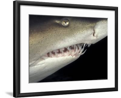 Underwater View of a Sand Tiger Shark, South Africa-Michele Westmorland-Framed Photographic Print