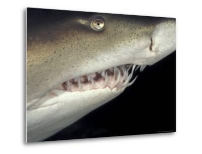 Underwater View of a Sand Tiger Shark, South Africa-Michele Westmorland-Metal Print