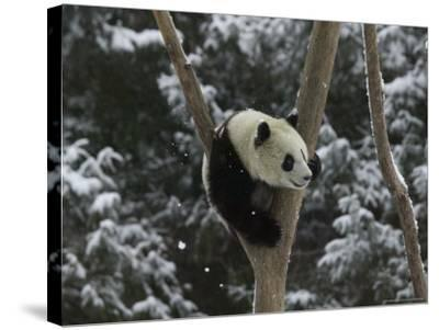 Panda Cub Playing on Tree in Snow, Wolong, Sichuan, China-Keren Su-Stretched Canvas Print