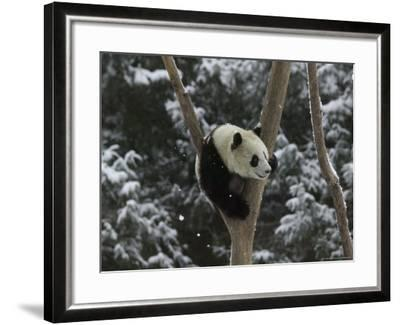 Panda Cub Playing on Tree in Snow, Wolong, Sichuan, China-Keren Su-Framed Photographic Print