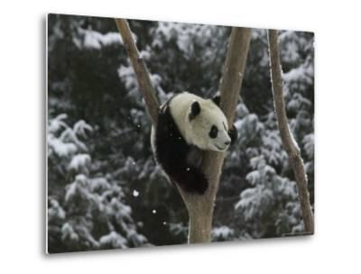 Panda Cub Playing on Tree in Snow, Wolong, Sichuan, China-Keren Su-Metal Print