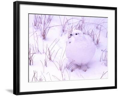 Rock Ptarmigan, Churchill, Manitoba, Canada-Gavriel Jecan-Framed Photographic Print