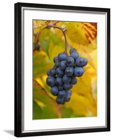 Beaujolais Red Grapes in Autumn, Burgundy, France-Lisa S^ Engelbrecht-Framed Photographic Print
