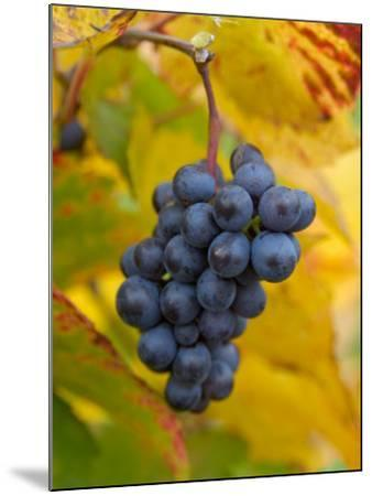 Beaujolais Red Grapes in Autumn, Burgundy, France-Lisa S^ Engelbrecht-Mounted Photographic Print