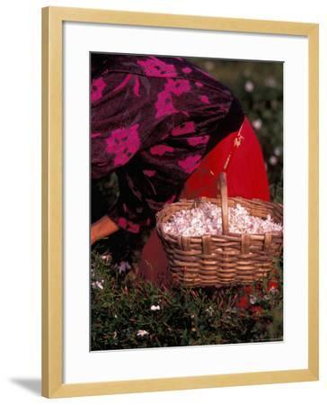 Gypsies Pick Jasmine Flowers, Grasse, France-Nik Wheeler-Framed Photographic Print
