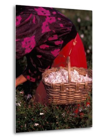 Gypsies Pick Jasmine Flowers, Grasse, France-Nik Wheeler-Metal Print