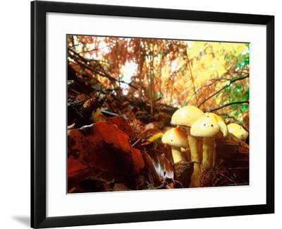 Mushrooms Growing Among Autumn Leaves, Jasmund National Park, Island of Ruegen, Germany-Christian Ziegler-Framed Photographic Print