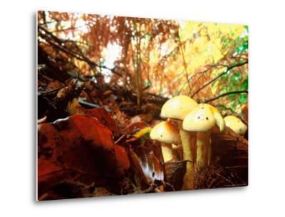 Mushrooms Growing Among Autumn Leaves, Jasmund National Park, Island of Ruegen, Germany-Christian Ziegler-Metal Print