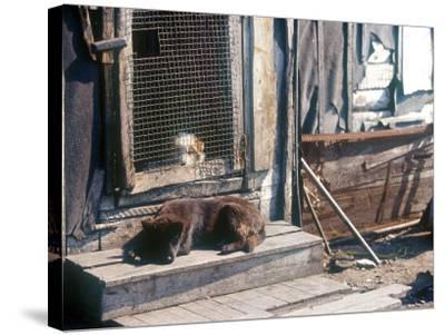 Resting Dog in Yanrakinnot, Providenia District-Daisy Gilardini-Stretched Canvas Print