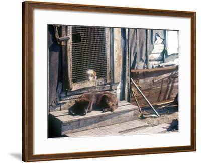 Resting Dog in Yanrakinnot, Providenia District-Daisy Gilardini-Framed Photographic Print
