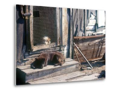 Resting Dog in Yanrakinnot, Providenia District-Daisy Gilardini-Metal Print
