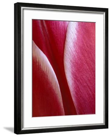 Tulip Detail, Rochester, Michigan, USA-Claudia Adams-Framed Photographic Print