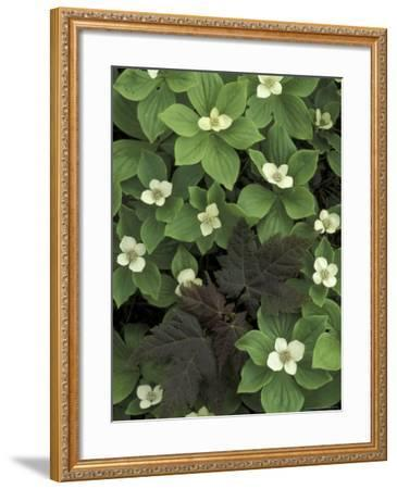 Maple Seedling in Bunchberry, Michigan, USA-Claudia Adams-Framed Photographic Print